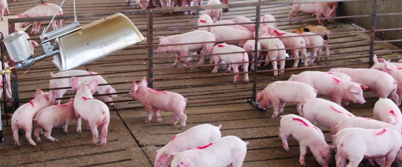 Website-Sliders-Pig-Production-1345×560